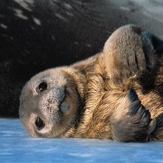Six different species of seal live in Antarctic waters: Ross, Weddell, crabeater, leopard, fur and elephant seals.
