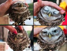 Petting a baby owl. I want one!!!! Please,  mom? Pleeeease?