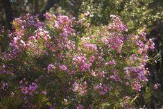 Native Plants, Wild Flowers, Wildflowers