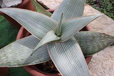 Aloe karasbergensis by alloe., via Flickr