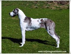 Vulpine Great Danes - Our Girls - Home of Champion bred American and European lined Great Danes. Merle Great Danes, Girl House, Our Girl, Girls, Dogs, Animals, Little Girls, Animales, Daughters