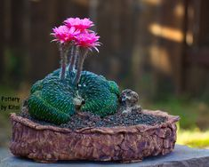 Echinopsis | kitoi | Flickr