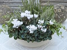 White is always a wonderful colour to use in flower arrangements.White is always a wonderful colour to use in flower arrangements. It is probably mostly associated with summer. It is surprising how many w. Container Plants, Container Gardening, Winter Greenhouse, Greenhouse Gardening, Winter Window Boxes, Winter Planter, White Flower Arrangements, Ivy Plants, Deco Floral