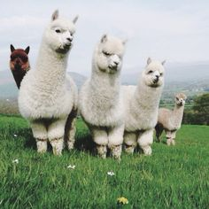 My favourite animals are alpacas and also llamas because they are just adorable Animals And Pets, Baby Animals, Funny Animals, Cute Animals, Alpacas, Beautiful Creatures, Animals Beautiful, Lama Animal, Alpaca My Bags