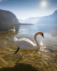 Swan, crystal clear water, awesome!