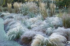 The grasses border in frost. Grasses include Stipa tenuissima, Stipa arundinacea, Carex testacea, Calamagrostis x acutiflora 'Karl Foerster' and Pennisetum alopecuroides 'Hameln' -© Jonathan Buckley/GAP Photos