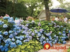 Hydrangea Care – Pruning & Blooming Tips - Southern Living Smooth Hydrangea, Hydrangea Bloom, Hydrangea Care, Hydrangea Not Blooming, Hydrangea Types, Hydrangea Varieties, Hydrangea Shrub, Hydrangea Flower, Gardens