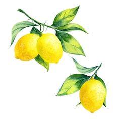 Watercolor Lemon Branch On White Background Stock Illustration 258015887 Lemon Painting, Lemon Watercolor, Watercolor Illustration, Watercolor Paintings, Watercolors, Lemon Art, Fruits Drawing, Foto Art, Fruit Art