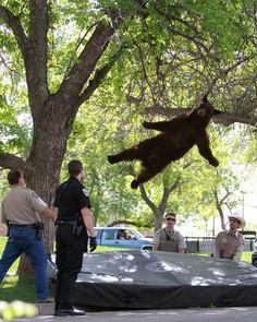 木から落ちるクマの画像がシュールすぎると話題に
