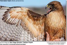 Red Tailed Hawk Wing