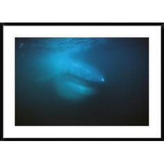 "Global Gallery 'Blue Whale Filter Feeding' Framed Photographic Print Size: 30"" H x 42"" W x 1.5"" D"