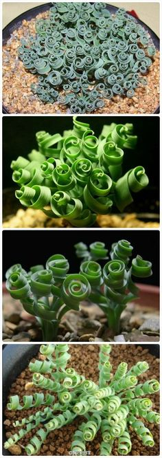 Curly Succulent Plant or Spiral Grass
