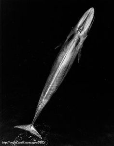 The blue whale is the largest animal ever known to have existed. During the 20th century, the species was an important whaling target and even after it was protected and commercial whaling stopped in 1964, exploitation efforts by the former Soviet Union persisted.