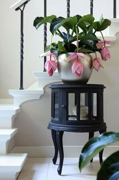 Medinilla – This little plant has won my heart – greenhouse is now stocked with … - House Plants