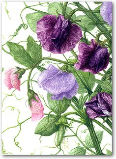Heather Raeburn Botanical Prints & Greeting Cards | Sweet Pea 3 | A6 Greetings Cards | Heather Raeburn Inspirations