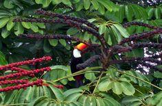 Tucanos soltos pelo Parque Foto:José Roque Caixeta Netto