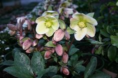 Learn how to grow shade-loving, deer resistant hellebores, also called Lenten roses, with the experts at HGTV Gardens.com
