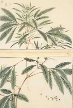 hemp, female plant, 本草図譜  岩崎 灌園, Honzo-Zufu, KanEn Iwasaki (1830)