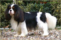 Looking Good! Tri Cavalier King Charles Spaniel