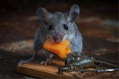 大成功! ネズミ捕り機から上手にチーズを盗み取るネズミさんがかわいすぎる画像