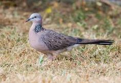 Image result for SPOTTED DOVE