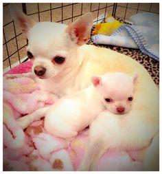 Spunkypaws Chihuahuas - Spunky Trop-A Rocka Snapple & her baby Bred by: Dana Baker