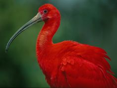 Scarlet Ibis - Wow, we have white, black and mottled in SW FL, would love to see a scarlet one!