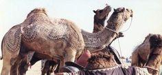 Cholistan camel
