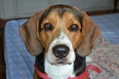 Pitoko beagle