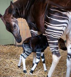 Okapis  //The 15 Cutest Living Fossils