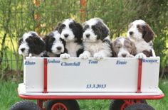What could be more fun than a wagon full of puppies. From the Bearded Collies at Gentle Souls.