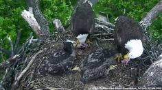 AEF-DC Eagle Cam ~ Family Buffet ~ 05·07·17