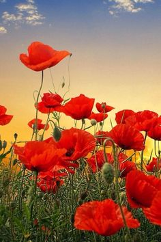 """Search Results for """"poppy field live wallpaper"""" – Adorable Wallpapers"""
