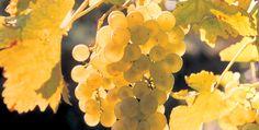Vous avez aimé le Crépy de Savoie… Alors vous aimerez…  http://avis-vin.lefigaro.fr/connaitre-deguster/o36850-vous-avez-aime-le-crepy-de-savoie-alors-vous-aimerez#