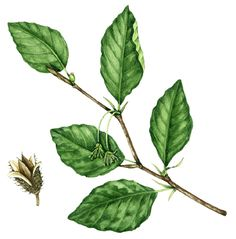 Botanical illustration of beech showing an ovate simple leaf shape. Ovate leaves are egg-shaped, with their base a little wider than their middle and their tip a little thinner than the middle; as with the beech leaf.
