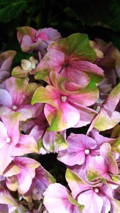 So I Have a Hydrangea Obsession. No Big Deal — Right?