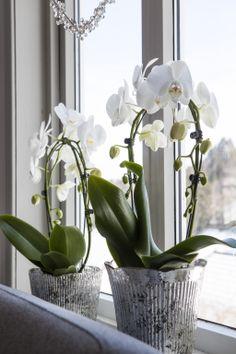 Phalaenopsis orkidé i glød potte: http://www.mestergronn.no/blogg/orkide-forforende-og-vakker/