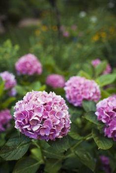 Cómo tratar el suelo para obtener hortensias color rosa  | eHow en Español