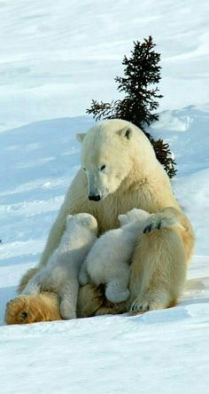 Beautiful Polar Bear Family!