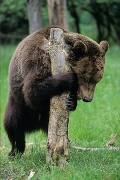 """Bad day - This grizzly seems to have  a bad day <p><a href=""""http://www.photoshopweimann.de"""">Peter Weimann</a></p> <p><a href=""""http://www.photoklau.de"""">Bilderklau - Das Erste Hilfe Buch</a></p>"""