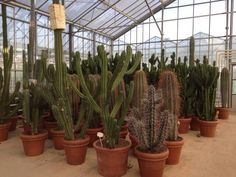Verschillende soorten grote cactus te koop bij www.bloemenweelde-amsterdam.nl
