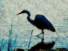 New print available on lanjee-chee.artistwebsites.com! - 'Great Blue Heron fishing in the low lake waters' by Lanjee Chee - http://lanjee-chee.artistwebsites.com/featured/great-blue-heron-fishing-in-the-low-lake-waters-lanjee-chee.html via @fineartamerica