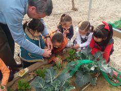 Plantamos lechuga romana y la cuidamos a través del riego y poniéndole gomas para juntar sus hojas