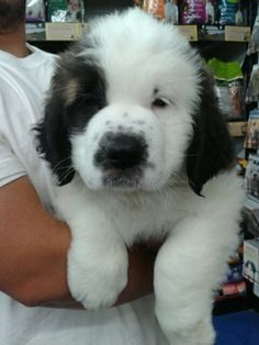 Saint Bernard -- 8 weeks old i want onneeeee. Giant Dogs, Big Dogs, I Love Dogs, Cute Puppies, Cute Dogs, Dogs And Puppies, Doggies, Baby Animals, Cute Animals
