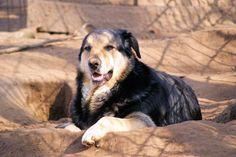 Bobo, Deutscher Schäferhund Mischling, ca. 8 Jahre - home4dogs