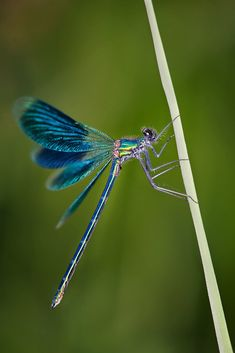 Dragonfly Images, Dragonfly Art, Dragonfly Tattoo, Dragonfly Photography, Insect Photography, Cool Insects, Bugs And Insects, Beautiful Bugs, Beautiful Butterflies