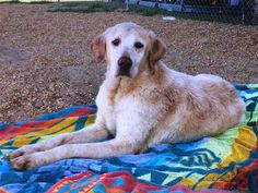 Golden Retriever dog for Adoption in Augusta, GA. ADN-523157 on PuppyFinder.com Gender: Female. Age: Senior