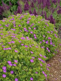 """Geranium 'New Hampshire Purple' (12"""" in KY) -- various places in the back and front yard"""
