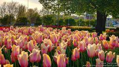Tulip, Tulips, Tulips...