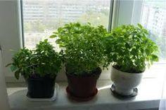 Выращивание пряных растений и зелени на подоконнике